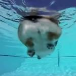 泳ぐコーギーを水中カメラで撮影 → お尻がとっても可愛いことに・・・