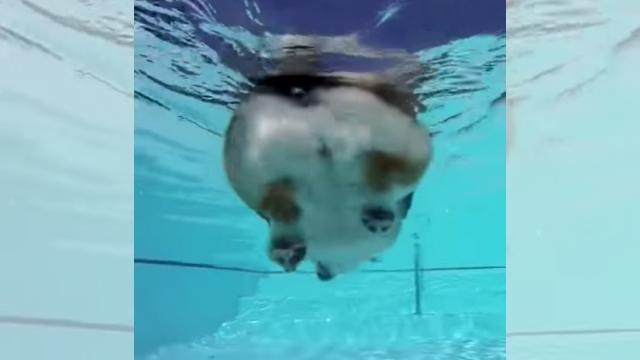 泳ぐコーギー