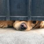 とある家の門の下から犬の鼻が覗いているのを発見 → 優しく撫でてあげると…