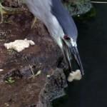 パンくずをエサにして魚をおびき寄せる利口なゴイサギ
