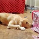 授乳中の子犬と遊びたくてちょっかいを出すパパ犬 → ママ犬にたしなめられてじっと我慢(笑)
