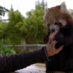 飼育係のお姉さんにお腹をくすぐられて満悦至極なレッサーパンダ