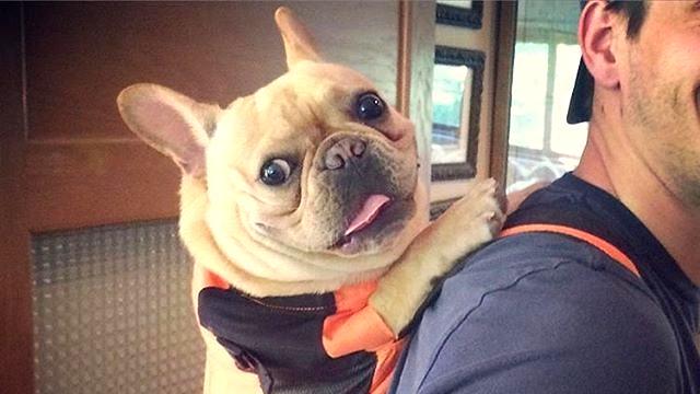 Resultado de imagen para 犬  Frenchie 美しい