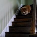 新しい家に引越し、階段を降りる練習が必要なコーギー犬