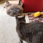 リアルで大きな猫の顔をしたクッションと目が合ってビビる猫(笑)