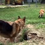 裏庭に完成した手作りのトンネルに大興奮 → ペットのキツネとワンコの追い掛けっこがおもしろい!
