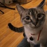 遠吠えのモノマネをする猫、可愛らしすぎて笑いが止まらない