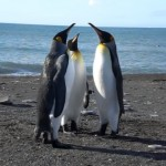 喧嘩なのか、じゃれ合いなのか?・・・奇妙な行動をする3羽のキングペンギン