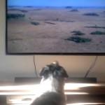 テレビを快適に視聴するために、毎回あるモノを持ってくる賢いワンコ