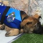 警察をクビになったシェパード犬 → より良い仕事のオファーを受けることに