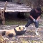 赤ちゃんパンダの構ってちゃんアピールが激しすぎて仕事にならない飼育員