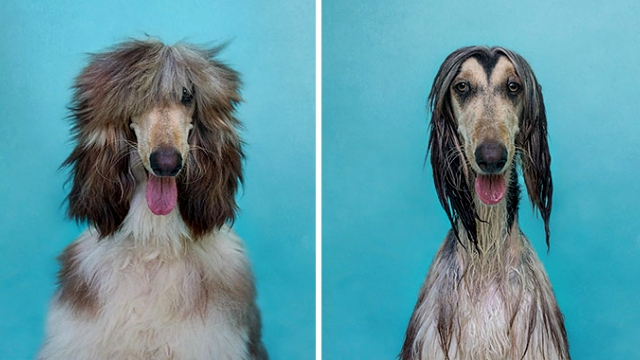 お風呂に入る前と後の変貌ぶりが半端ない動物たちの写真 35選