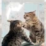 意外な場所でケンカを始めた猫姉妹に困惑するも、なぜか嬉しそうな飼い主
