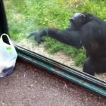 なんという賢さ!・・・来園客に指示を与えて食べ物をゲットする動物園のチンパンジー