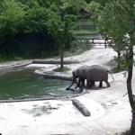溺れた子ゾウを救助する大人のゾウたちのチームワークがスゴイ!