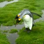 水溜りを跳び越えたい、けど跳べない・・・ジレンマに苛まれるペンギン(笑)