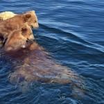 2匹(頭)の子グマたちを背中に乗せて湖を泳いで渡るお母さんグマ