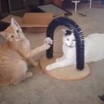 ゴム紐のついたおもちゃを引っ張ってイタズラをするチョイ悪な猫(笑)