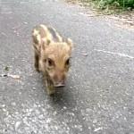 これはやられた!?・・・カメラを向けるとトコトコと近寄ってきた野生のウリ坊♡