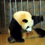 これはビックリ!?・・・赤ちゃんが凄い勢いで飛び出してくるパンダの出産シーンが衝撃的すぎる!
