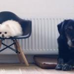 同居犬が亡くなり、寂しそうなポメラニアンに犬のぬいぐるみをプレゼントしてみると