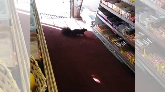 盗みの常習犯!?・・・チョコレートバーを狙って店にやって来るマニアックなリス