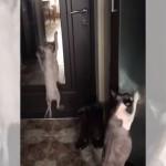 鏡の前でキレのいいダンスを踊る猫とドラムを叩く猫(笑)