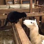 ヒツジに攻撃的な態度を見せる猫 → ヒツジの報復にあえなく撃沈