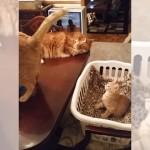 ゆらゆらと揺れる先輩猫の尻尾を見つめていた子猫にまさかの珍事が・・・(笑)