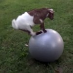 何にでも登ることが大好きなヤギにバランスボールを与えた結果