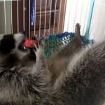 おやつにスイカを食べながら、快適な夏をエンジョイするアライグマ