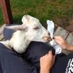 初めて食べるアイスバーが美味しくて一気食いした結果、思わぬハプニングに見舞われたヤギ