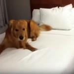 初めて許可をもらったベッドの上で興奮冷めやらぬワンコ(笑)