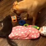 違うそうじゃない(笑)!?・・・赤ちゃんに足蹴りされたのに、勘違いしてワンコに激怒する猫
