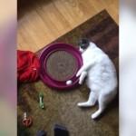 脱力感あふれる猫のボール遊び