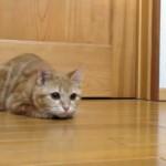 ナイスキャッチを連発するアイスホッケーを特訓中の猫