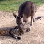 お昼寝している猫を遊びに誘うカンガルー vs 迷惑そうな猫