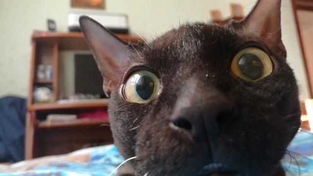 愛猫と睨めっこをする飼い主。笑いを堪え切れず敢え無く撃沈(笑)