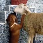 ヒツジと初めての顔合わせ・・・好き好きが止まらない生後5ヶ月のボクサー犬