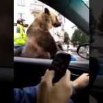 バイクのサイドカーにでっかいクマが!!・・・ ロシアで目撃された驚きの光景