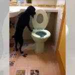 人間用のトイレで用を足し、使用後は水を流すお利口なラブラドール犬