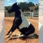 ワンコのように地面に座ったまま動こうとしない奇妙な馬