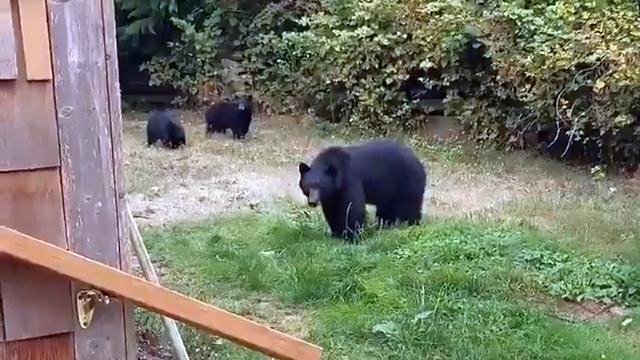 裏庭に侵入したクマ親子に丁重にお引き取りを願うカナダの男性