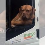 しかめっ面をしながら、バンの窓から顔を覗かせる貫禄たっぷりな犬