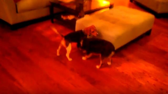 ケンカをするビーグル犬の繰り出す一風変わった攻撃技がおもしろい!