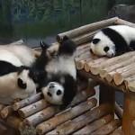 怪我をしないのが不思議なほど、転んで落ちてを繰り返す子パンダの日常風景がおもしろい!