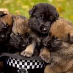 重要な使命を帯びた子犬たちのトレーニング風景 32枚