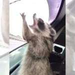 車の窓から吹き込む雨を必死になってつかまえるアライグマがおもしろい!