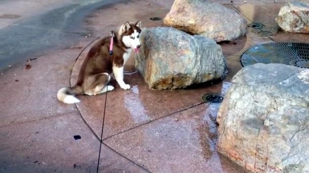噴水が噴きあがるのを待っていて不意打ちをくらったハスキー犬(笑)