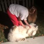 家の中に連れて入ろうとする飼い主に必死に抵抗するサモエド犬がかわいい!!